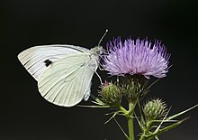Butterfly Large White - Pieris brassicae 02.jpg