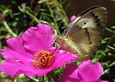 Butterfly on Portulaca grandiflora (6693913723).jpg