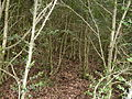 Buxus-forest-Rettel-Lorraine-France 01.jpg