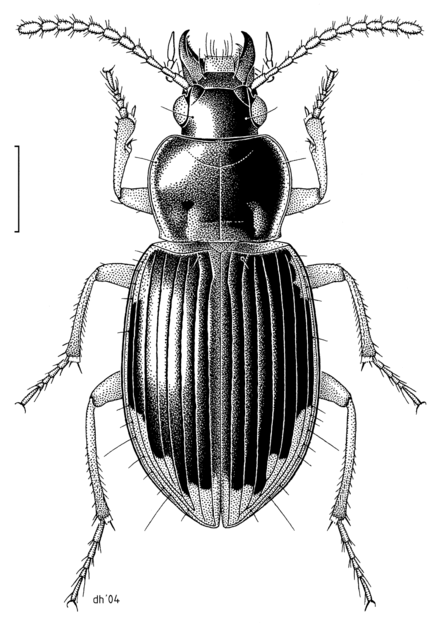 Drawing of Lecanomerus sharpi by Helmore, made in 2004 for the New Zealand Arthropod Collection COLE Carabidae Lecanomerus sharpi.png