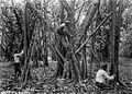 COLLECTIE TROPENMUSEUM Het inkerven en aftappen van rubberbomen TMnr 60022632.jpg