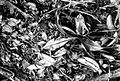 COLLECTIE TROPENMUSEUM Nepenthes gymnaphora Nees op de grond in een ravijn te Tjibodas TMnr 10006236.jpg
