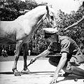 COLLECTIE TROPENMUSEUM Paardenopkoop voor het leger op Flores TMnr 10013170.jpg