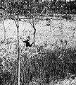 COLLECTIE TROPENMUSEUM Rijstveld met objecten die vogels moeten afschrikken TMnr 20000179.jpg
