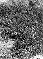 COLLECTIE TROPENMUSEUM Vaccinium laurifolium bij de top van de vulkaan Welirang TMnr 10024194.jpg