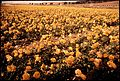 COMMERCIAL FIELDS OF RANUNCULUS - NARA - 542641.jpg