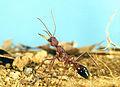 CSIRO ScienceImage 2011 A Myrmecia gulosa Bull Ant.jpg