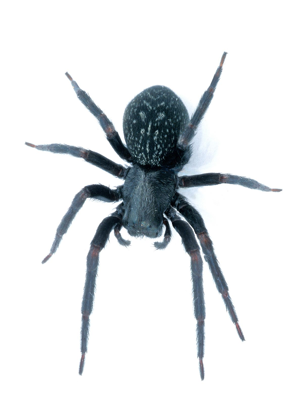 black house spider Wiktionary