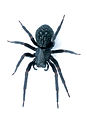 CSIRO ScienceImage 2018 A Black House Spider.jpg
