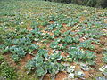 Cabbage field from Kanthalloor 115848.jpg
