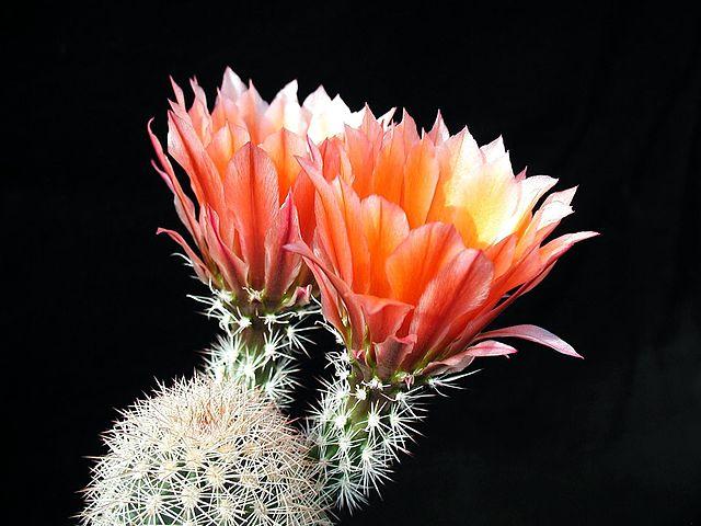 Veľmi obľúbené izbové rastliny sú kaktusy