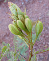 Caesalpinia gilliesii, flower buds.jpg