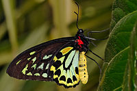 Cairns Birdwing, the largest butterfly in Aust...