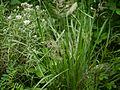 Calamagrostis scabrescens (Deyeuxia scabrescens) (7840305950).jpg