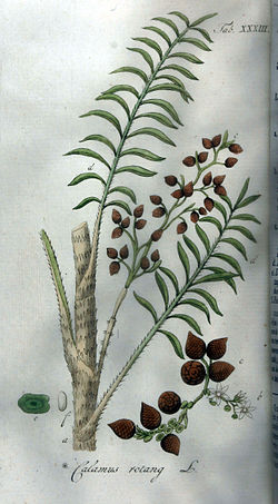 Palmier rotin