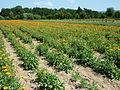 Calendula-Feld Heilpflanzengarten.jpg