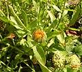 Calendula officinalis, Fryšták (4).jpg