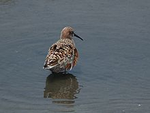 Calidris ferruginea P4233794.jpg