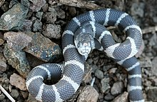 Californiakingsnake.jpg