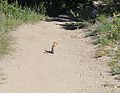 Callospermophilus lateralis in the Ruby Mountains.jpg