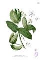 Calotropis gigantea Blanco2.258.png