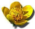Caltha palustrisPopulage.jpg