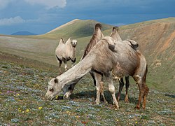 Camels in the Altai Mountains 01.jpg