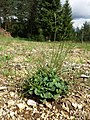 Campanula rotundifolia sl12.jpg