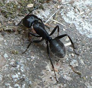 Haarige Holzameise (Camponotus vagus)