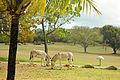 Caneel Bay Free Roaming Wild Donkeys.jpg
