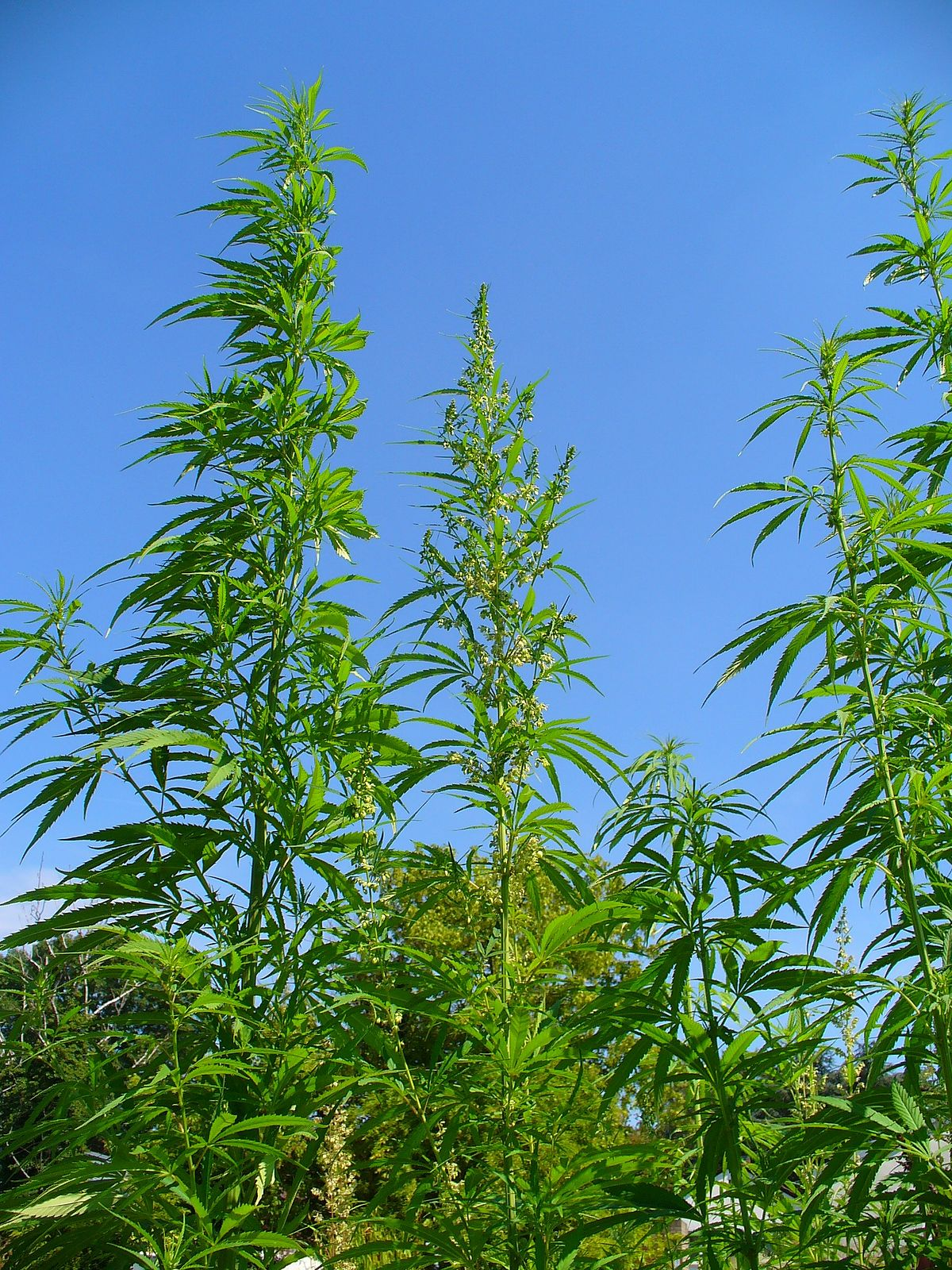 Cannabis wikip dia for Le plant