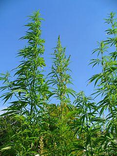 240px-Cannabis_sativa_001.JPG