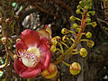 CannonballTreeFlower-Barbados-March12-09.jpg