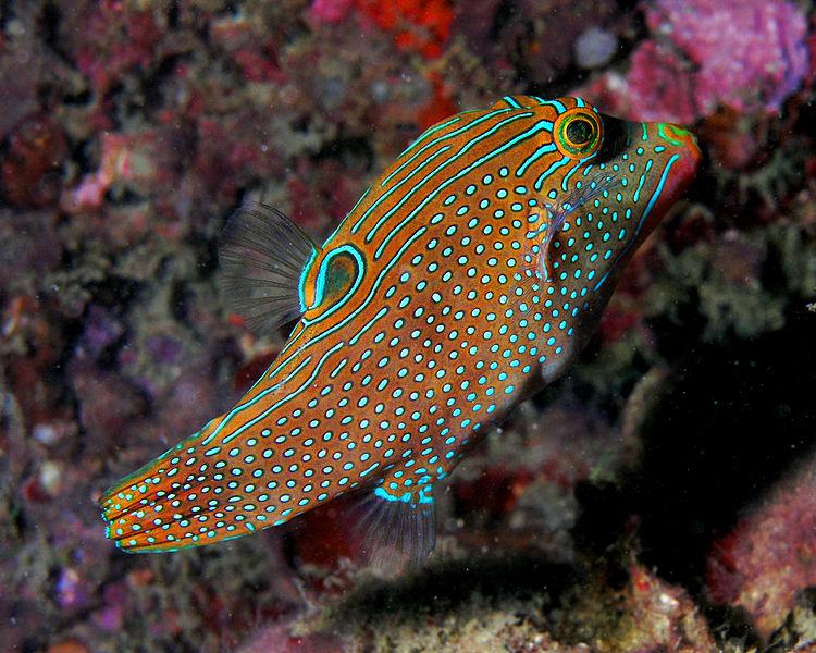 Dosya:Canthigaster solandri (sharpnosed puffer, solander's toby, or blue-spotted toby).jpg