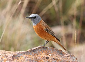 Cape Rock Thrush, Monticola rupestris at Marakele National Park, South Africa (13936069287).jpg