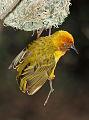 Cape Weaver, Ploceus capensis at Walter Sisulu National Botanical Garden (9953996163).jpg