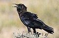 Cape crow, Corvus capensis, at Kgalagadi Transfrontier Park, Northern Cape, South Africa (36040532966).jpg