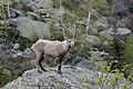Capra ibex.jpg