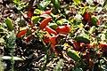 Capsicum annuum Tangerine Dream 4zz.jpg