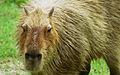 Capybara Hattiesburg Zoo (70909b-50) 640x400.jpg