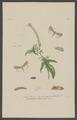 Caradrina - Print - Iconographia Zoologica - Special Collections University of Amsterdam - UBAINV0274 003 06 0033.tif