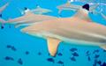 Carcharhinus melanopterus bora bora.png
