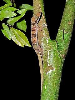 <i>Cyrtodactylus intermedius</i> species of reptile