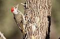 Cardinal Woodpecker - MALE, Dendropicos fuscescens at Pilanesberg National Park, Northwest Province, South Africa (15088961391).jpg
