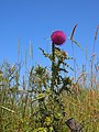 Carduus nutams in bloei. NP Schiermonnikoog.jpg