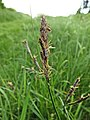 Carex hirta inflorescens (37).jpg