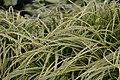 Carex morrowii Silver Sceptre 0zz.jpg