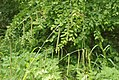 Carex pendula inflorescens (24).jpg