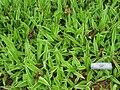 Carex siderosticha 'Variegata' - Tower Hill Botanic Garden.jpg