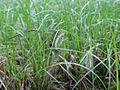 Carex vesicaria Simo, Finland 22.06.2013.jpg